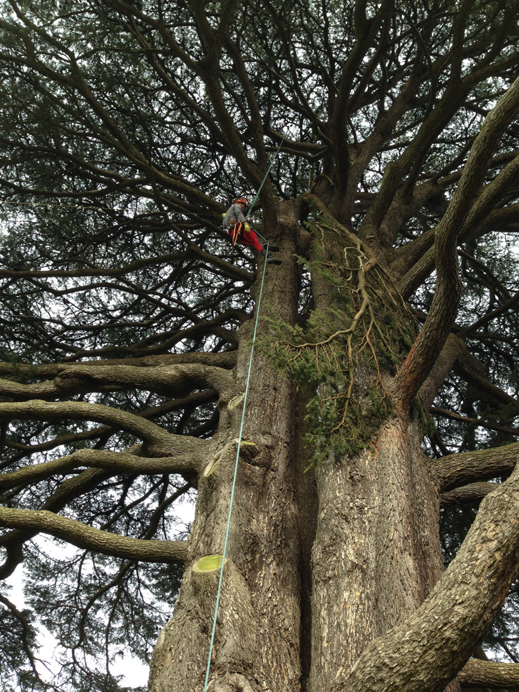 Cedar Tree at Farnborough Hall having a limb removed