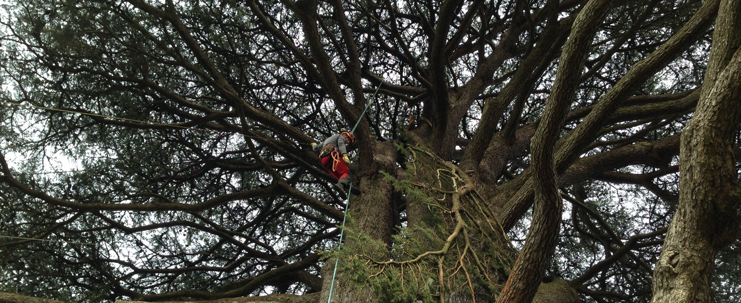 Lowering a limb from the Cedar Tree at Farnborough Hall