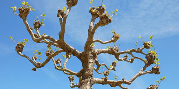 Pollarded London Plain Tree